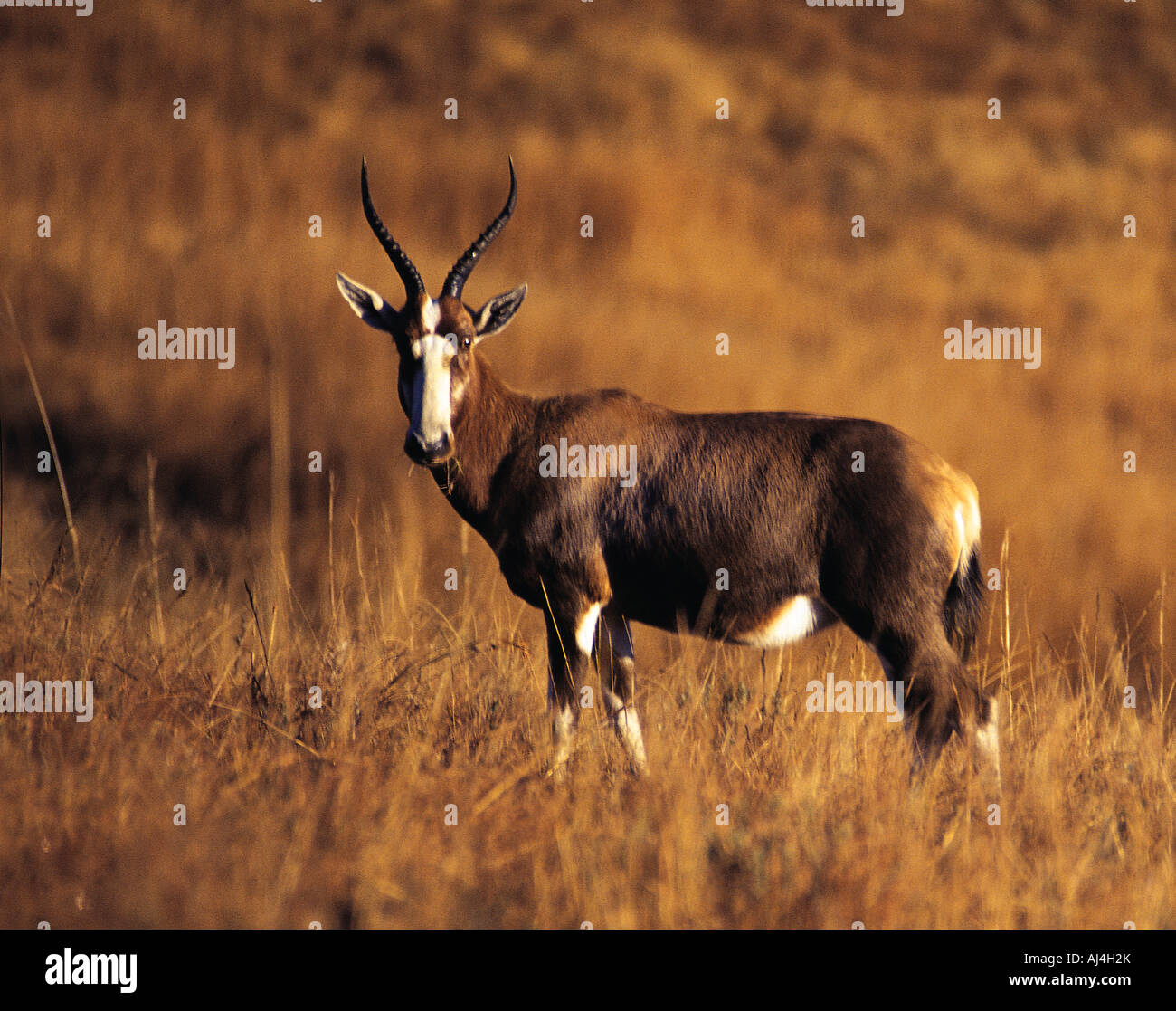 Blesbok Damaliscus d Dorcas a common highveld antelope in Malolotja Game Reserve Swaziland - Stock Image