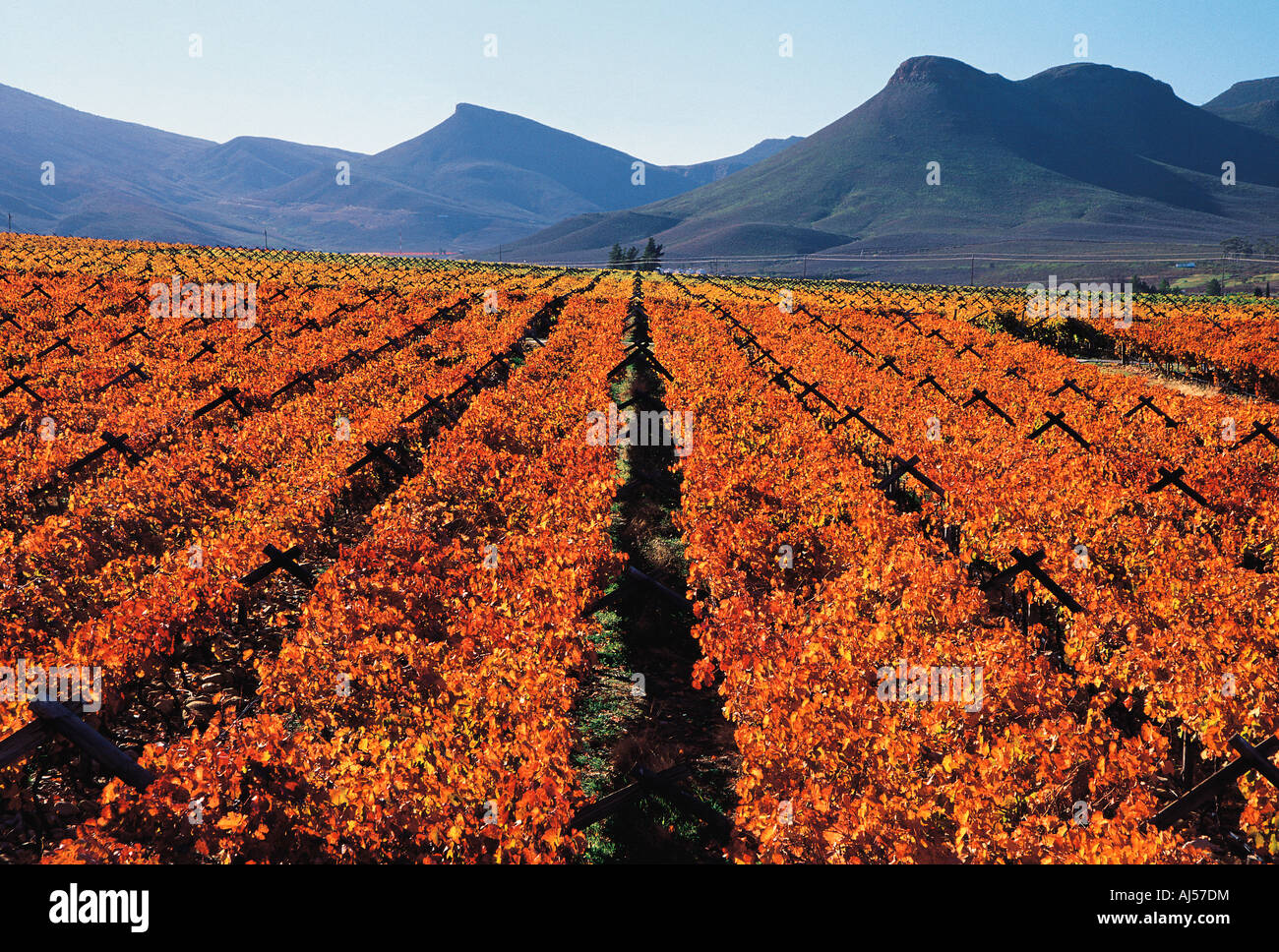 Vineyards in autumn colours Hex River Valley Western Cape South Africa - Stock Image