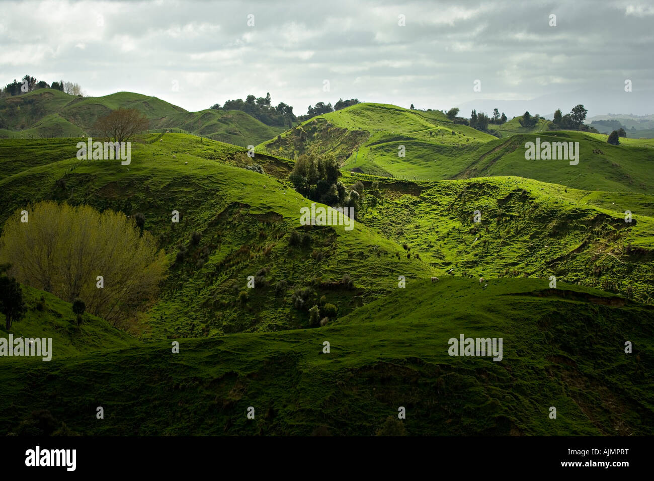 Rolling green hills with sheep pasture Manawatu New Zealand - Stock Image