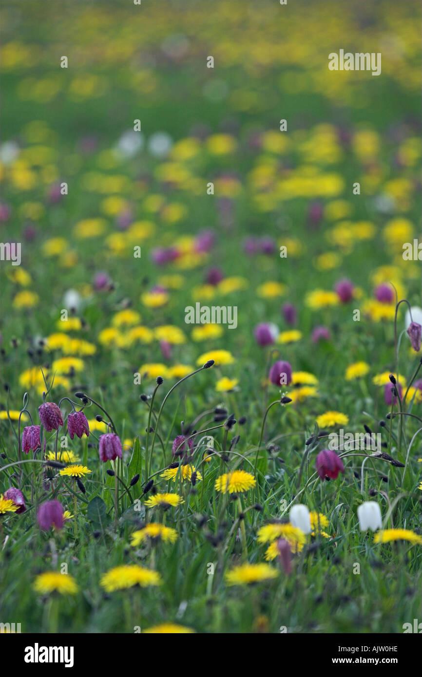 Colourful wild flower meadow snakes head fritillaries and colourful wild flower meadow snakes head fritillaries and yellow dandelions north meadow cricklade england uk mightylinksfo