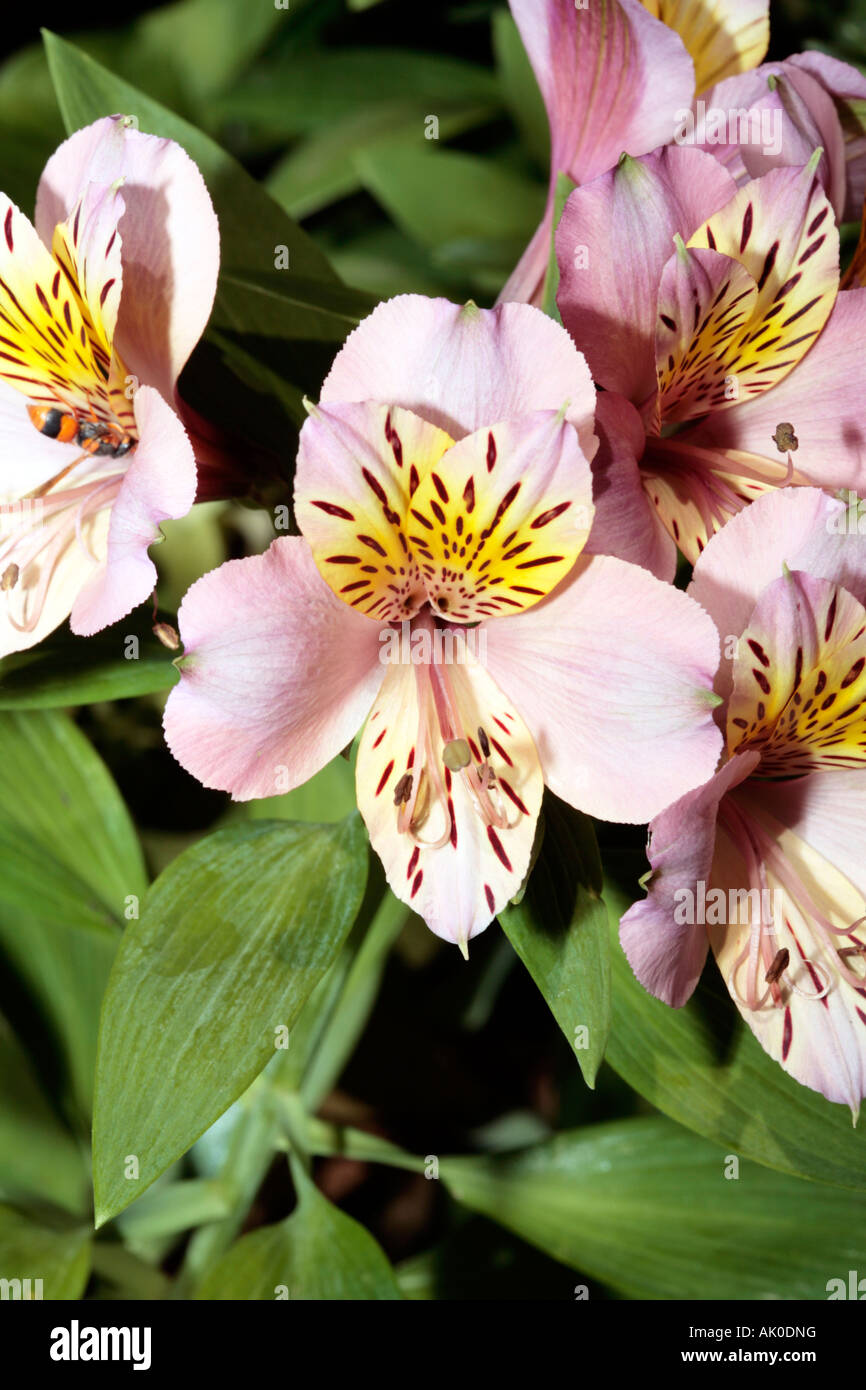 Alstroemeria stock photos alstroemeria stock images alamy peruvian lily chilean lily flower of the incas alstroemeria stock image izmirmasajfo Gallery