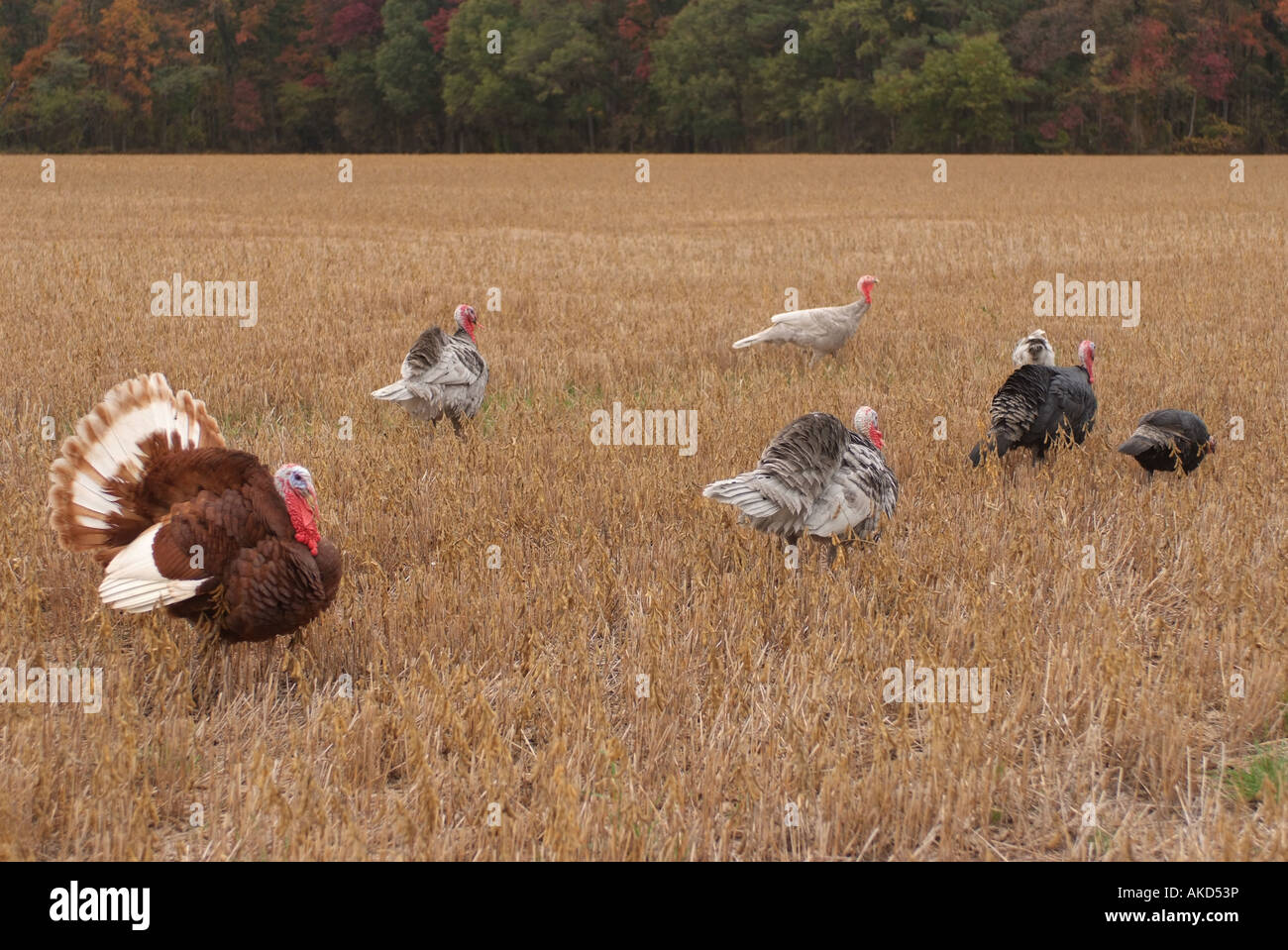 usa-maryland-eastern-shore-flock-of-wild