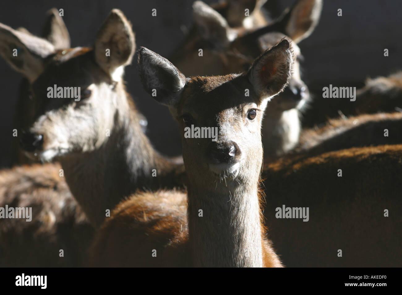 red-deer-herd-cervus-elaphus-does-side-l