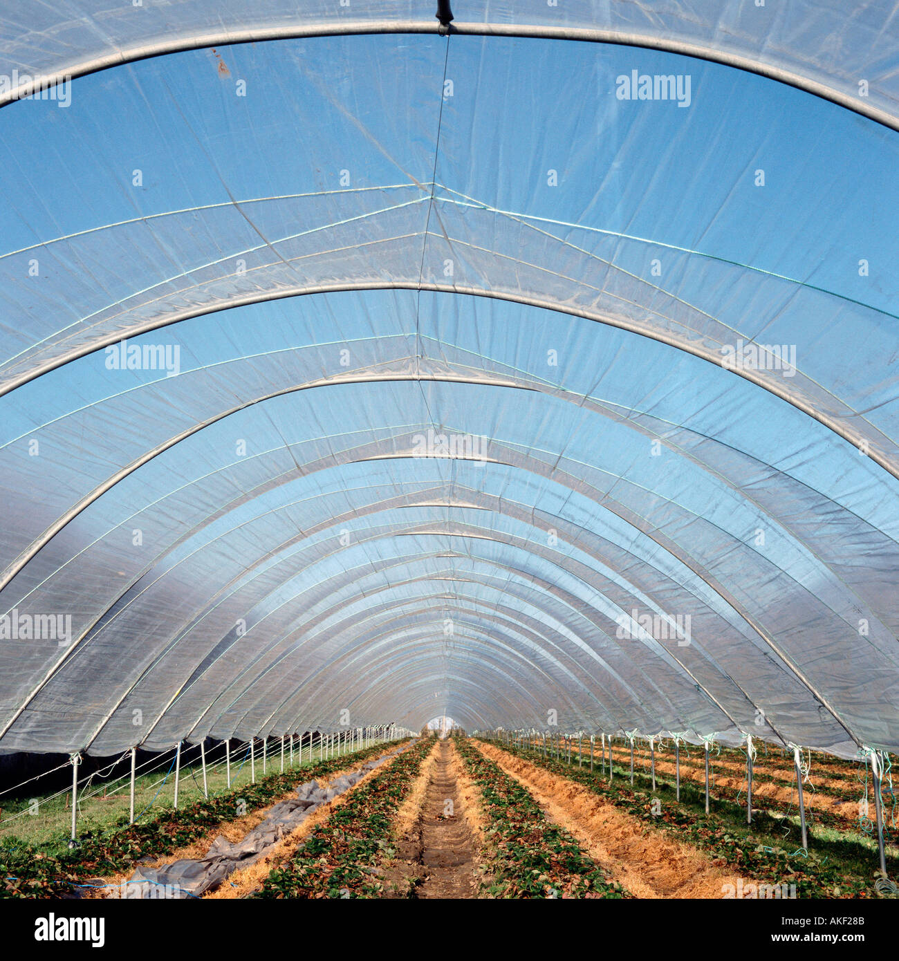 Cultivation in polytunnel - Stock Image