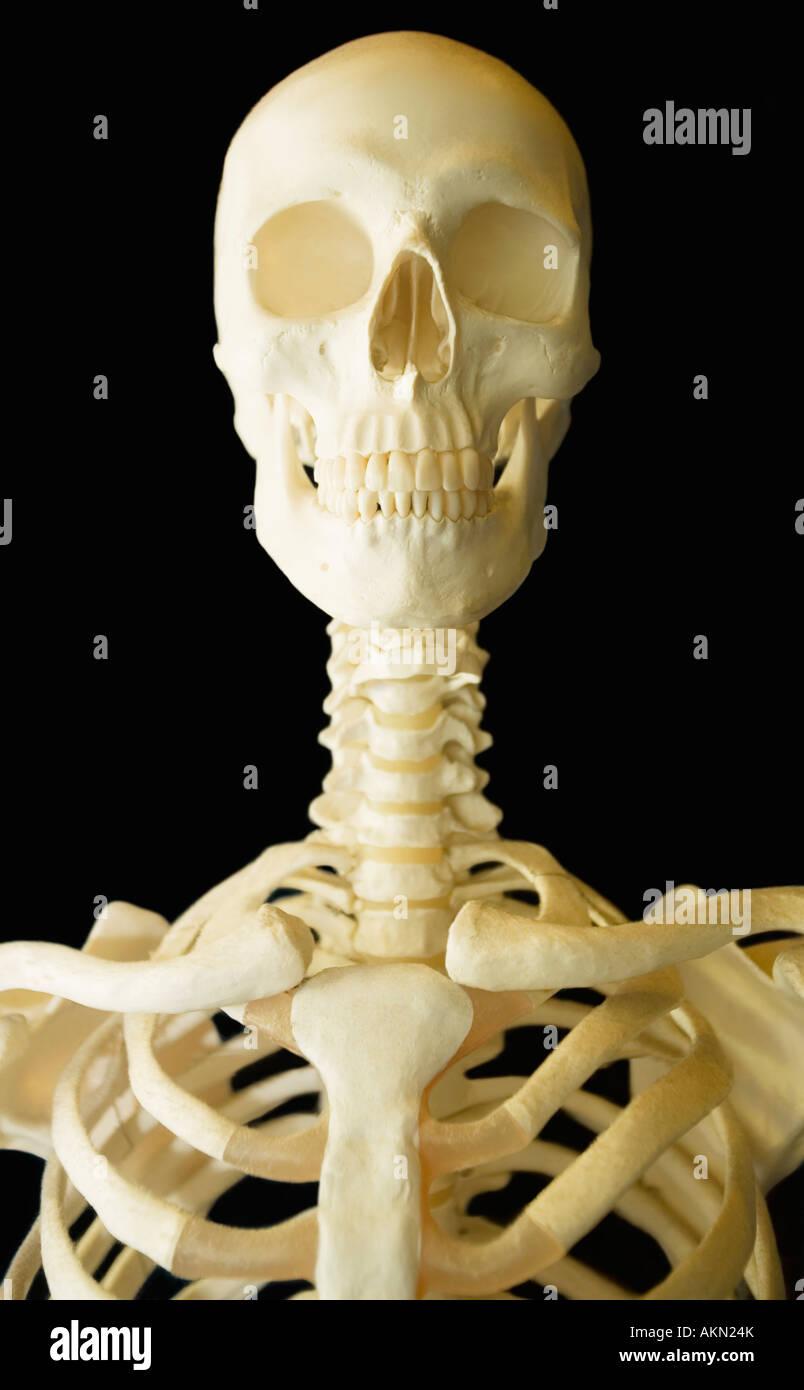 Human skeleton - Stock Image