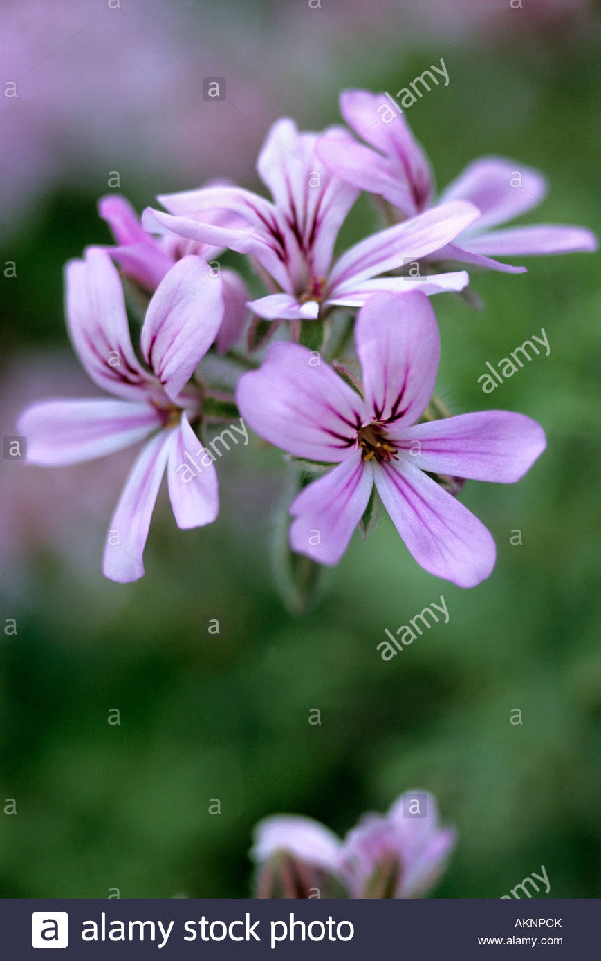 Pelargonium grey lady plymouth scented geranium mauve to pink flower pelargonium grey lady plymouth scented geranium mauve to pink flower with grey silver green foliage herb nursery rutland mightylinksfo Image collections