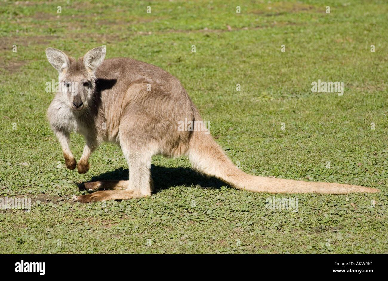 an-eastern-wallaroo-macropus-robustus-AKWRK1.jpg