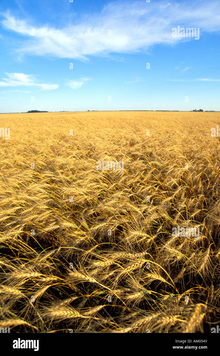 Wheat field in the Red River Valley of Minnesota - Stock Image
