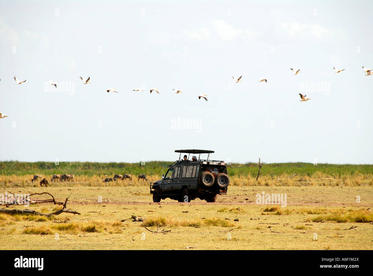 White Pelican (Pelecanus onocrotalus) flying over a safari Landcruiser Lake Manyara National Park Tanzania - Stock Image