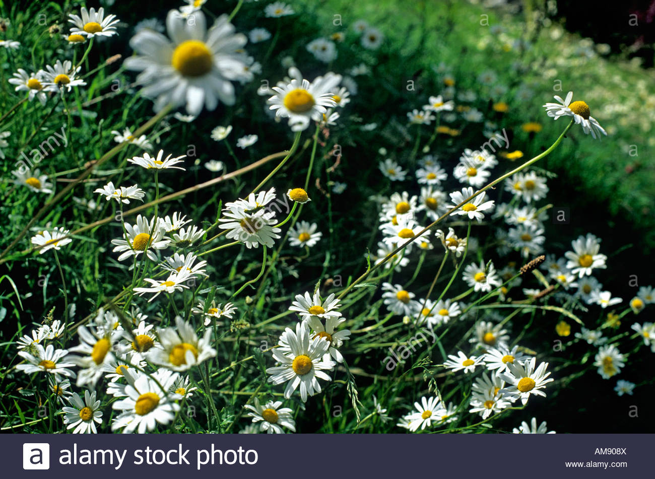 Argyranthemum frutescens marguerite paris daisy large single white argyranthemum frutescens marguerite paris daisy large single white yellow centered daisy like flowers growing in a meadow izmirmasajfo Image collections