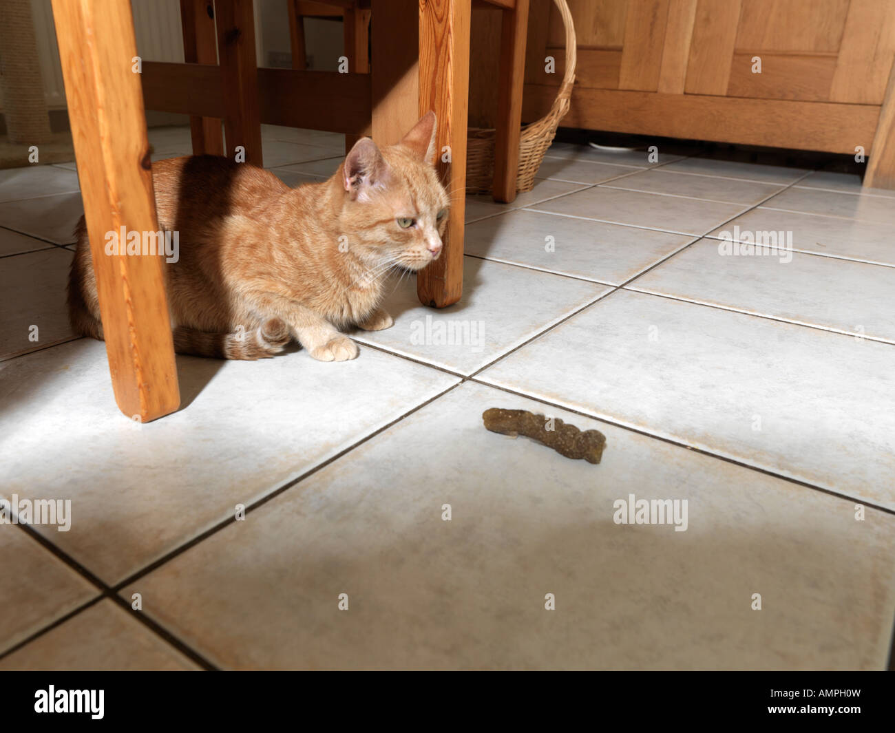 B 51088 Cat Embarassed by House Soiling - Stock Image