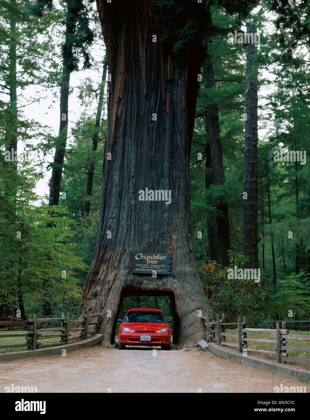 Drive thru tree stock photos drive thru tree stock images alamy drive thru tree chandelier redwood tree car driving through tree leggett california arubaitofo Gallery