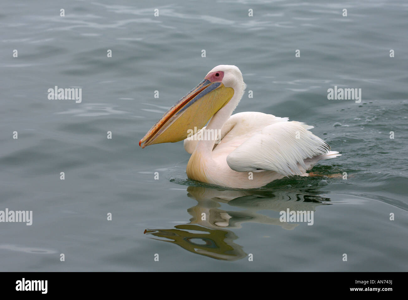 Great white pelican Pelecanus onocrotalus adult swimming Walvis Bay Namibia November - Stock Image