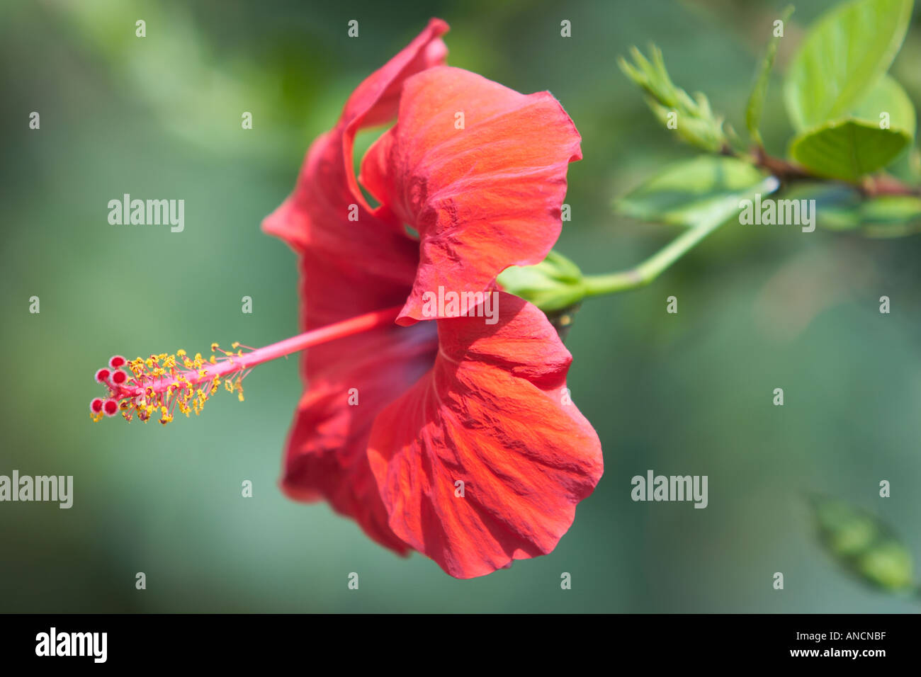 Red hibiscus flower scientific name hibiscus rosa sinensis corfu red hibiscus flower scientific name hibiscus rosa sinensis corfu island greece izmirmasajfo Image collections