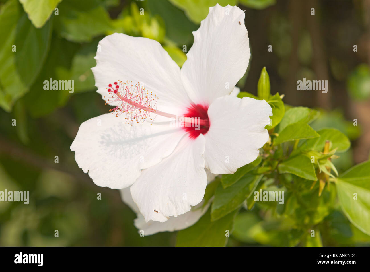 White hibiscus flower scientific name hibiscus rosa sinensis white hibiscus flower scientific name hibiscus rosa sinensis corfu island greece izmirmasajfo Image collections