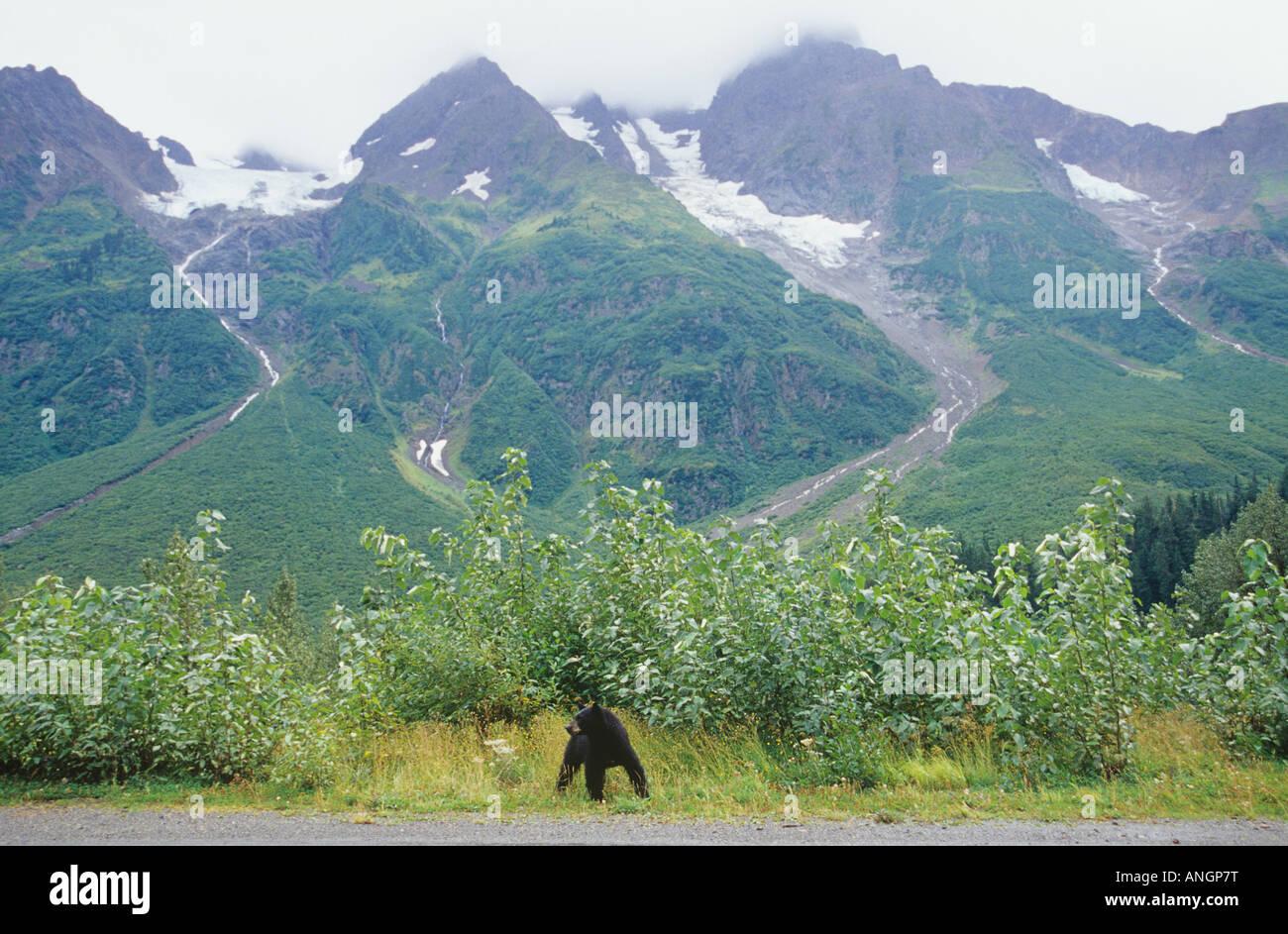 Black bear and Glaciers near Stewart, British Columbia, Canada. - Stock Image