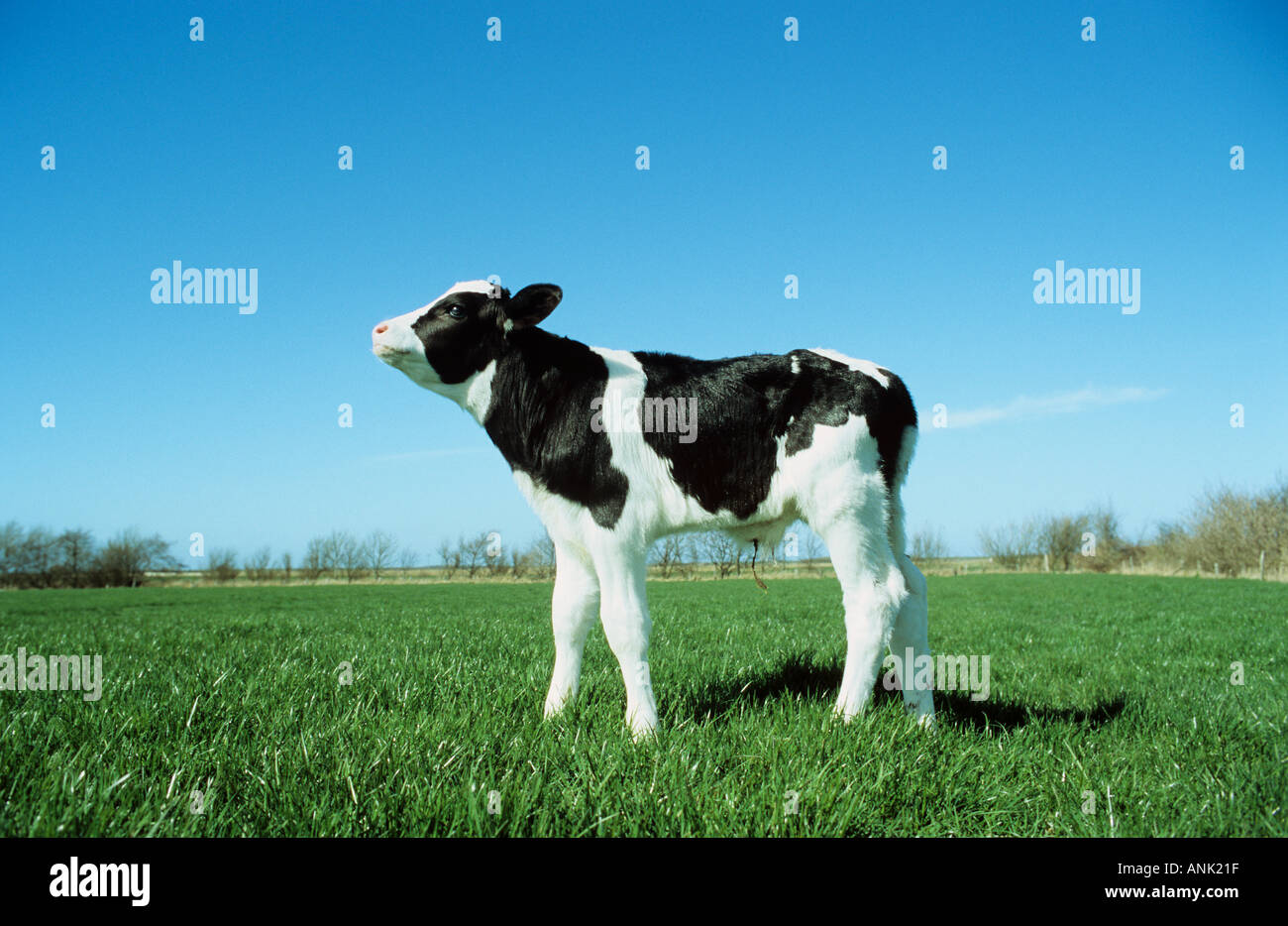 cow - calf standing on meadow - Stock Image