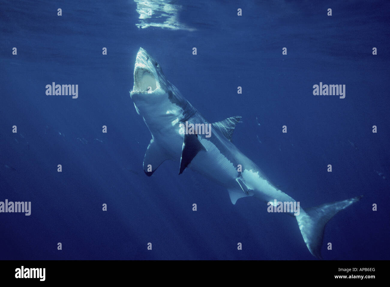 White shark Carcharhodon carcharias Gaudalupe Island Pacific Ocean - Stock Image