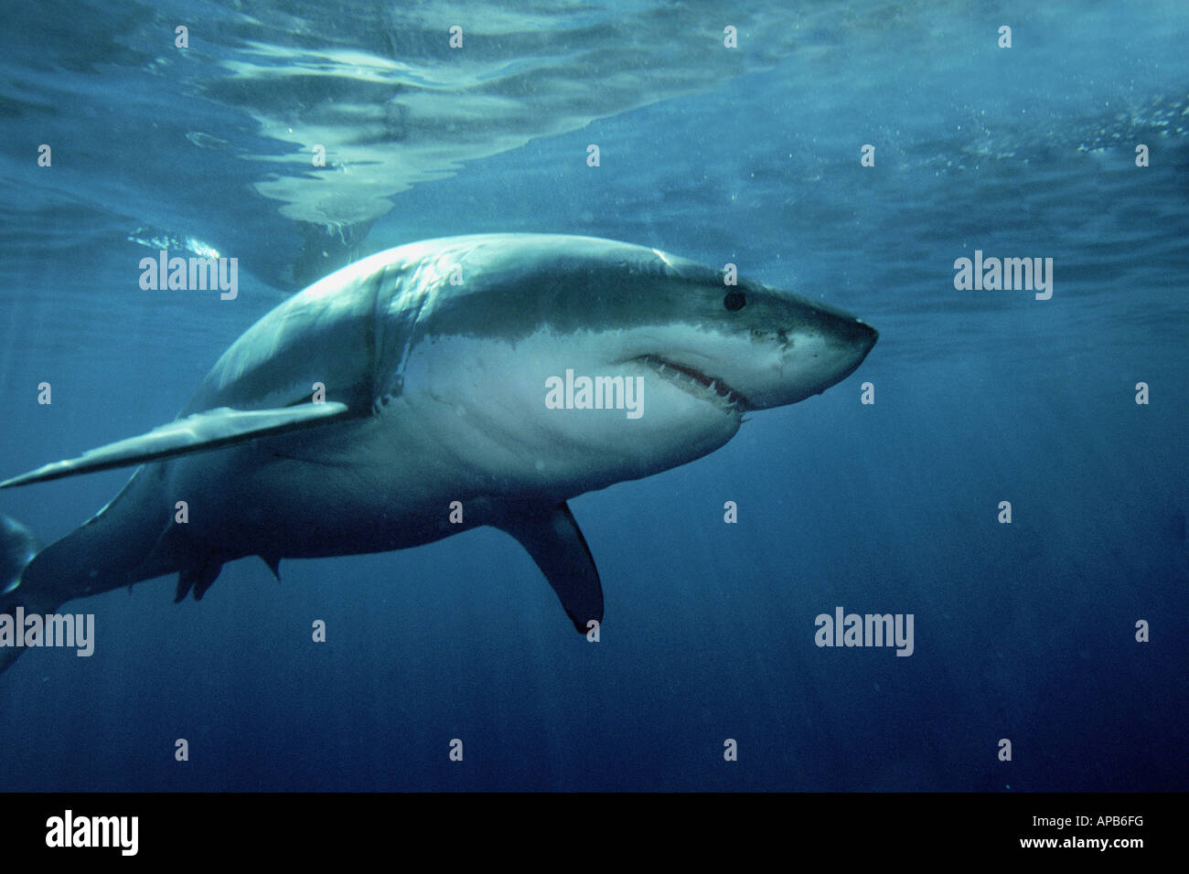 White shark Carcharhodon carcharias - Stock Image