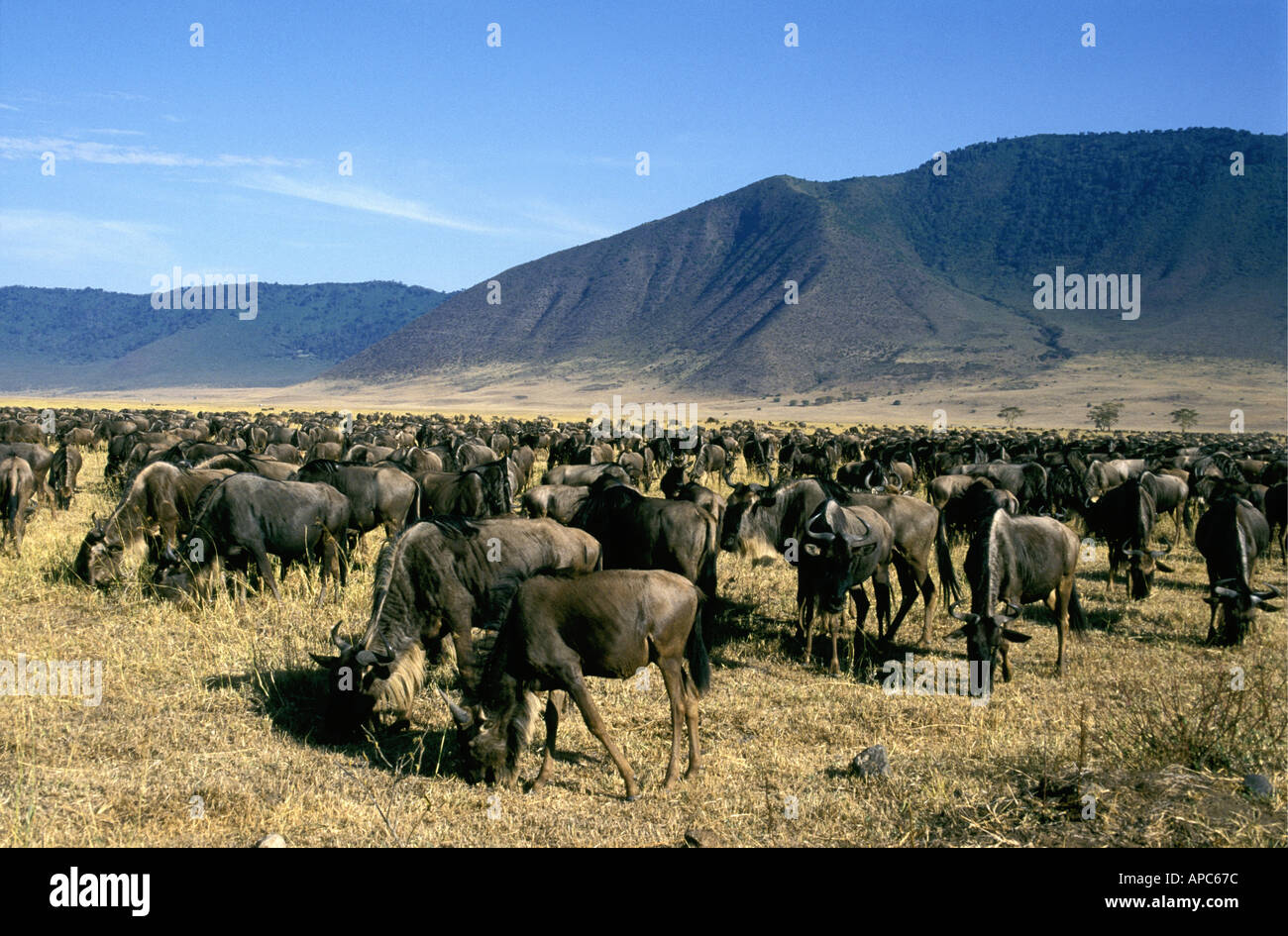 A herd of several thousand wildebeest or White Bearded Gnu in Ngorongoro Crater Tanzania East Africa - Stock Image