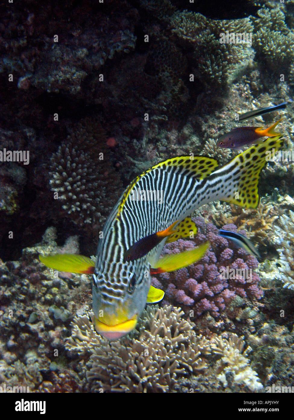 Diagonal Banded Sweetlips Plectorhinchus lineatus Agincourt Reef Great Barrier Reef North Queensland Australia - Stock Image