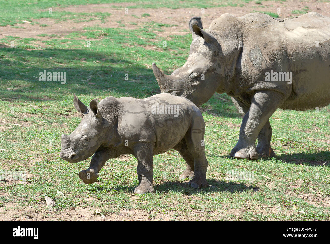 a mother and baby black rhino together - Stock Image