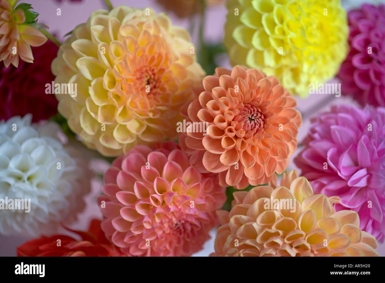 Dahlia flower arrangement stock photo 5205279 alamy dahlia flower arrangement izmirmasajfo