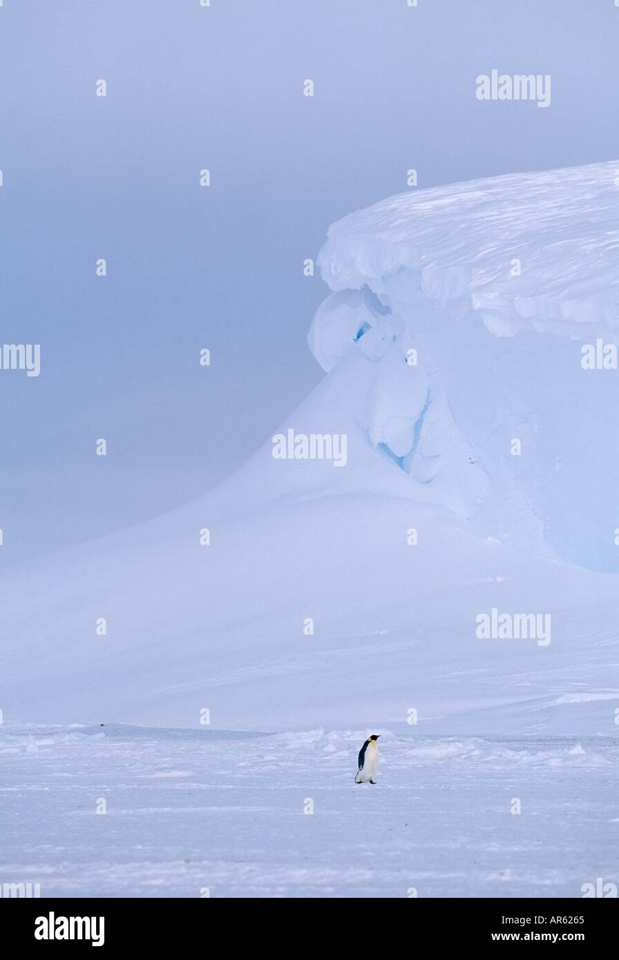 Emperor Penguin Aptenodytes forsteri lone adult returning to colony across sea ice of Weddell Sea Antarctica November - Stock Image