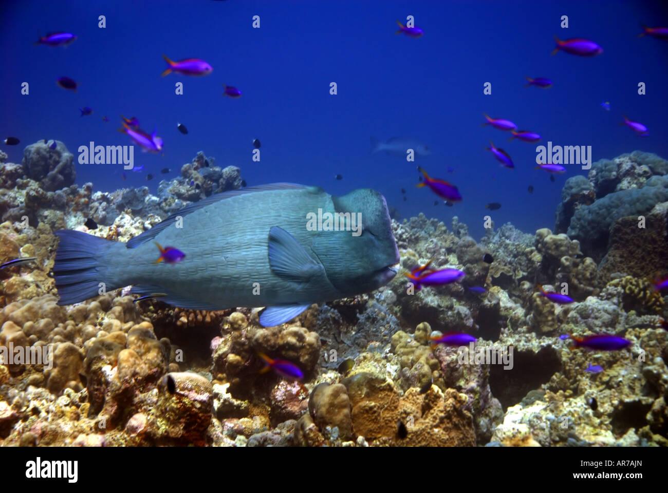Bumphead parrotfish (Bolbometopon muricatum), Mermaid Reef, Rowley Shoals, Western Australia Stock Photo