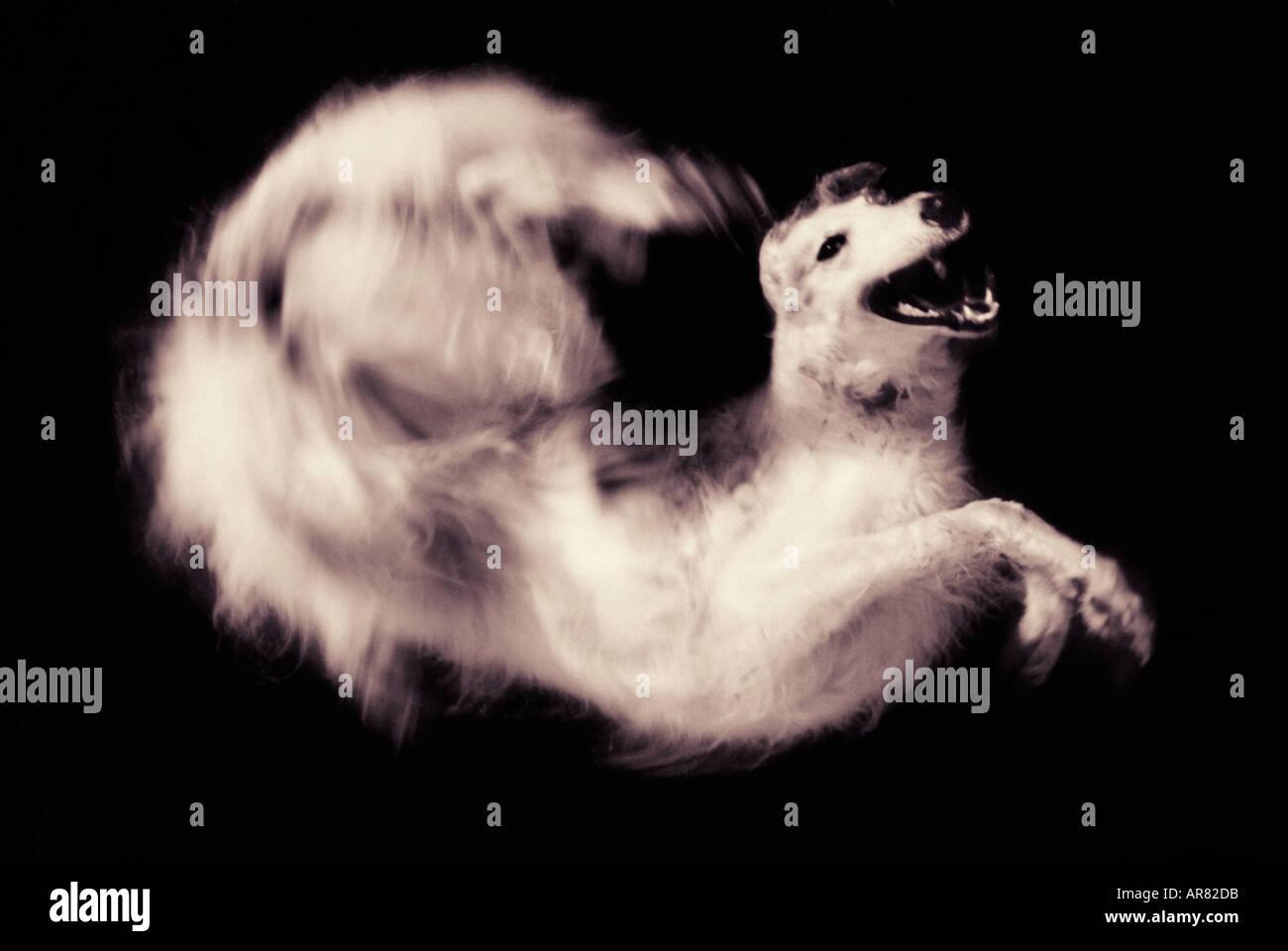 Borzoi dog jumping and twisting - Stock Image