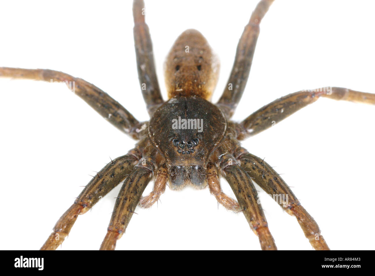Fen Raft Spider Dolomedes plantarius, a fishing spider, on white background Stock Photo