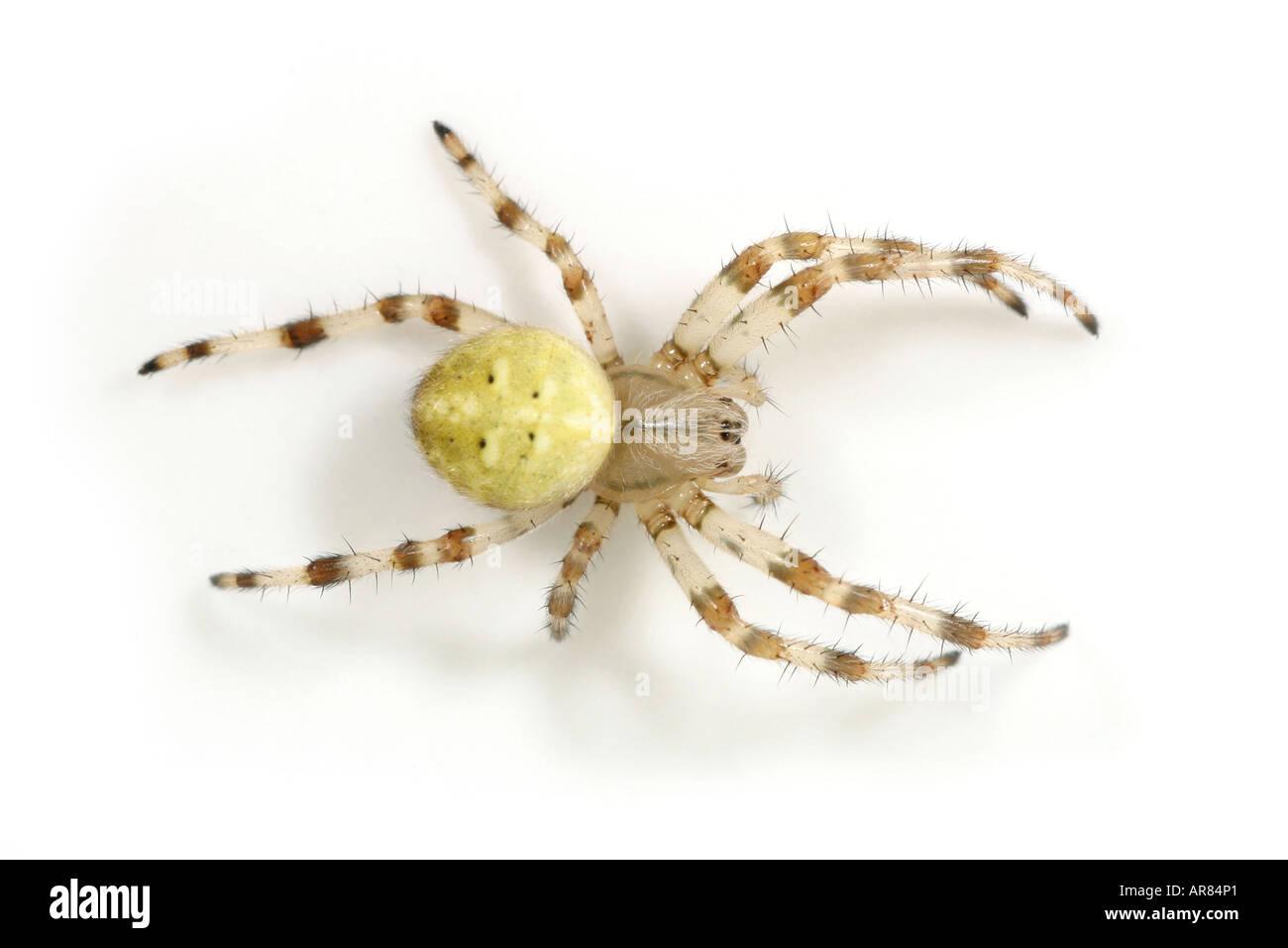 Araneus Quadratus spider on white background Stock Photo