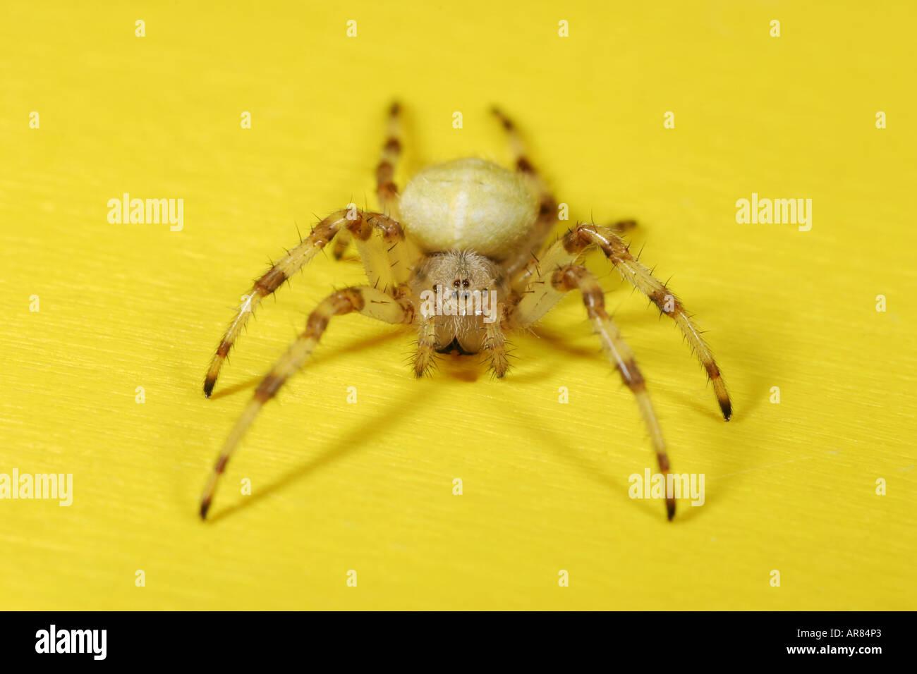 Araneus Quadratus spider on yellow background Stock Photo