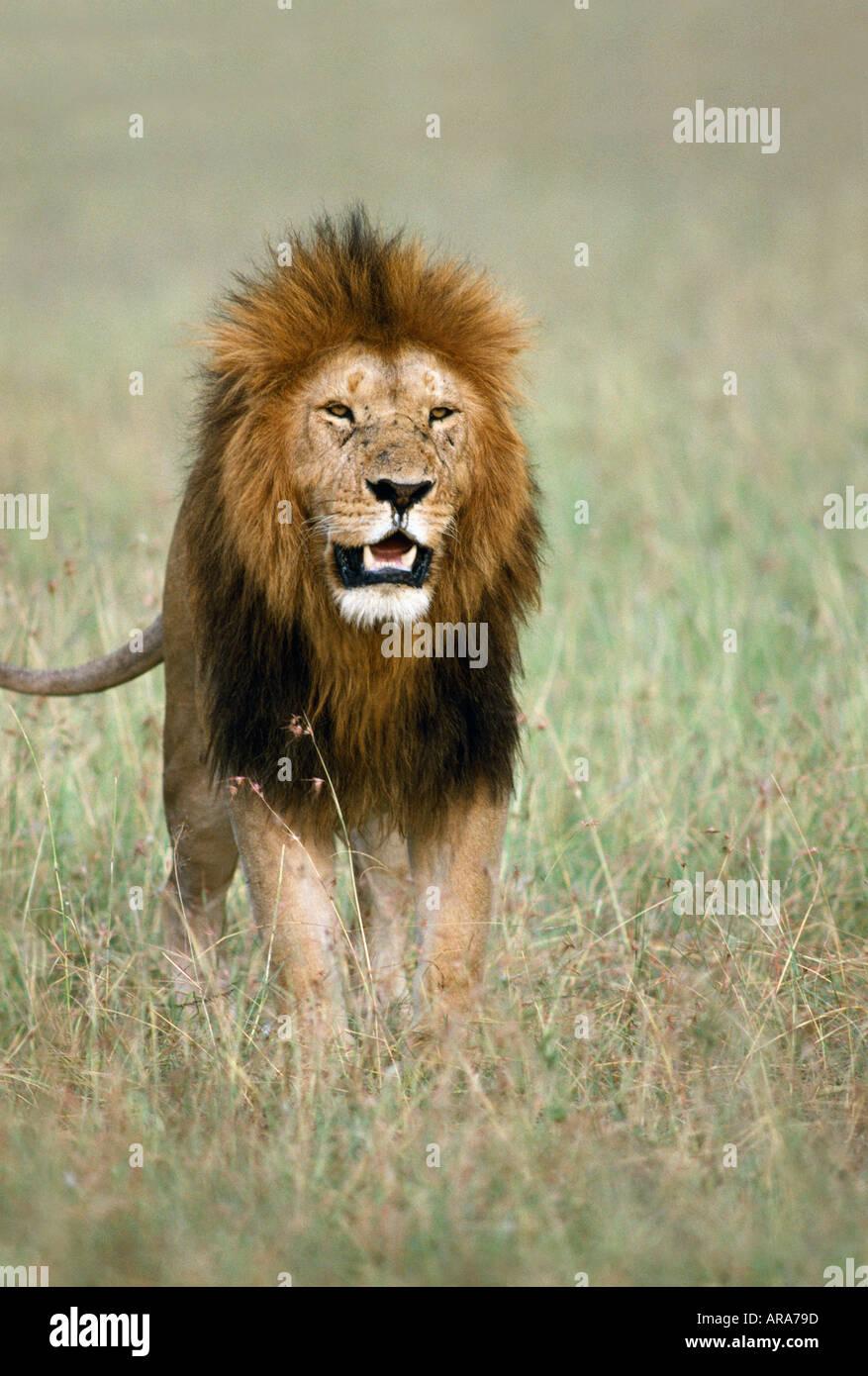 male lion walking towards camera masai mara national park stock
