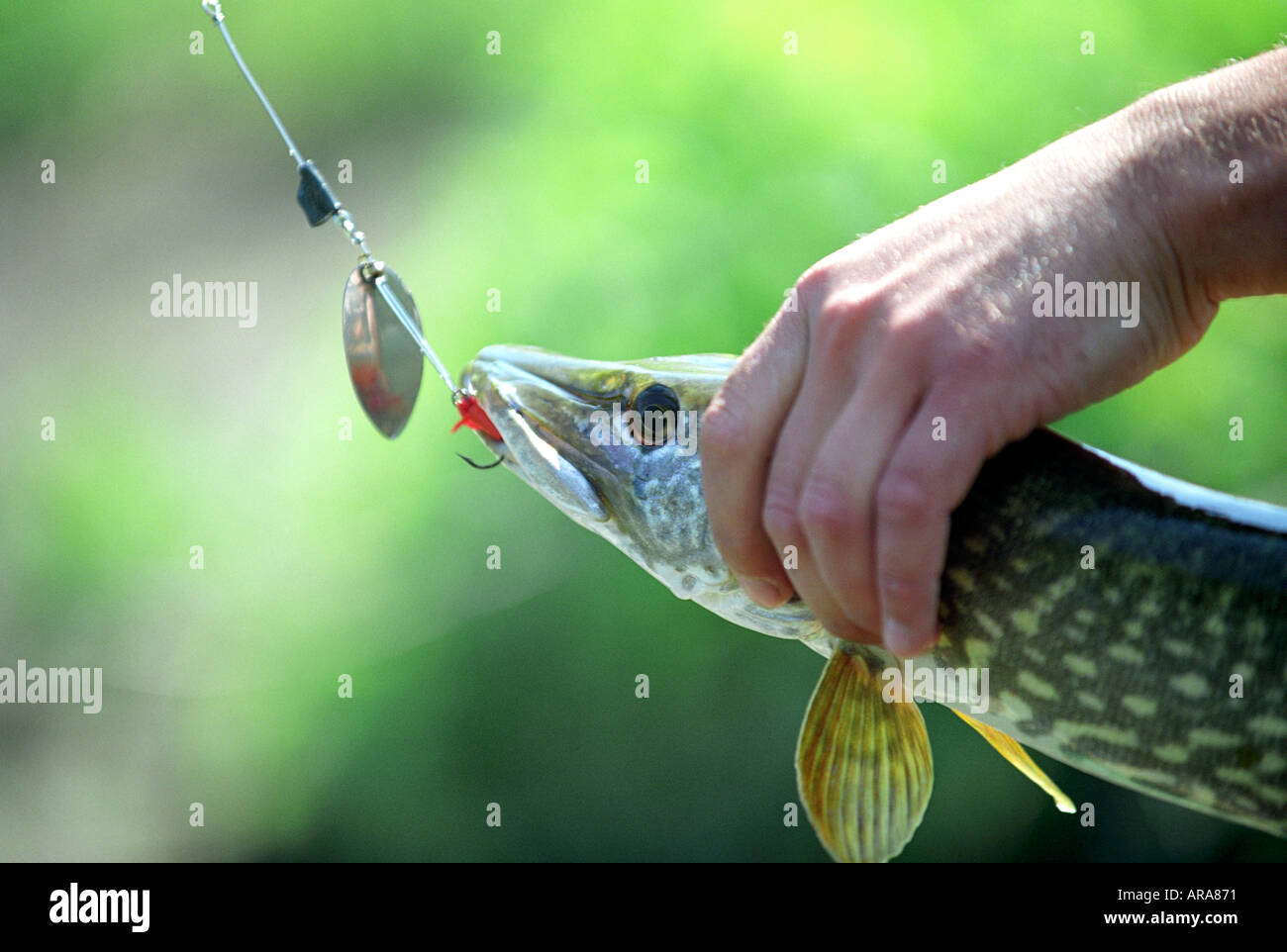 A pike caught on a fishing hook in Champagne Ardenne region of France - Stock Image