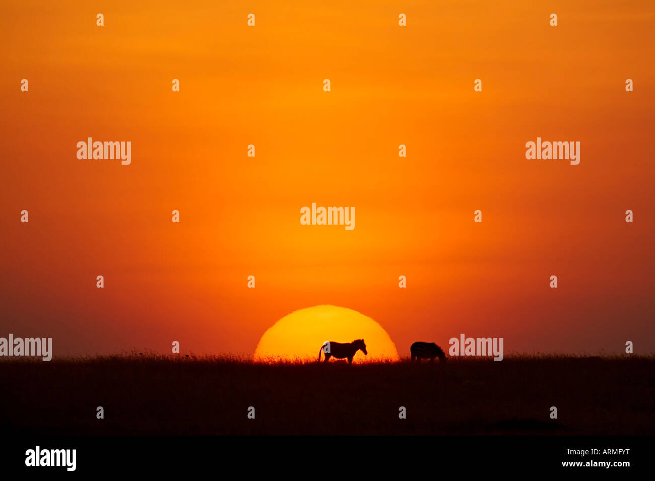 Sun setting behind a silhouetted common zebra, Masai Mara Game Reserve, Kenya, East Africa, Africa - Stock Image
