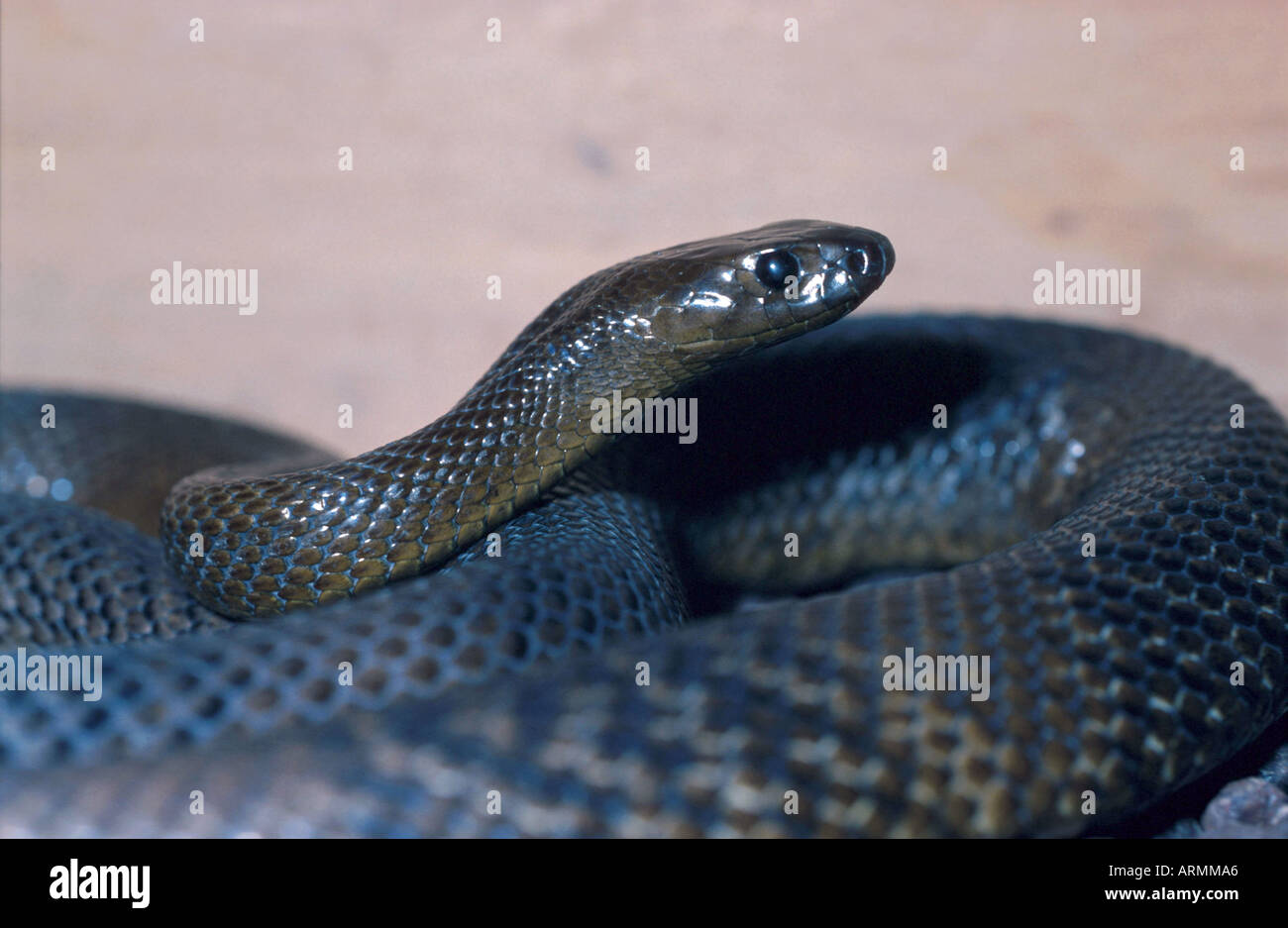 fierce snake (Oxyuranus microlepidotus), most venomous snake of the world Stock Photo