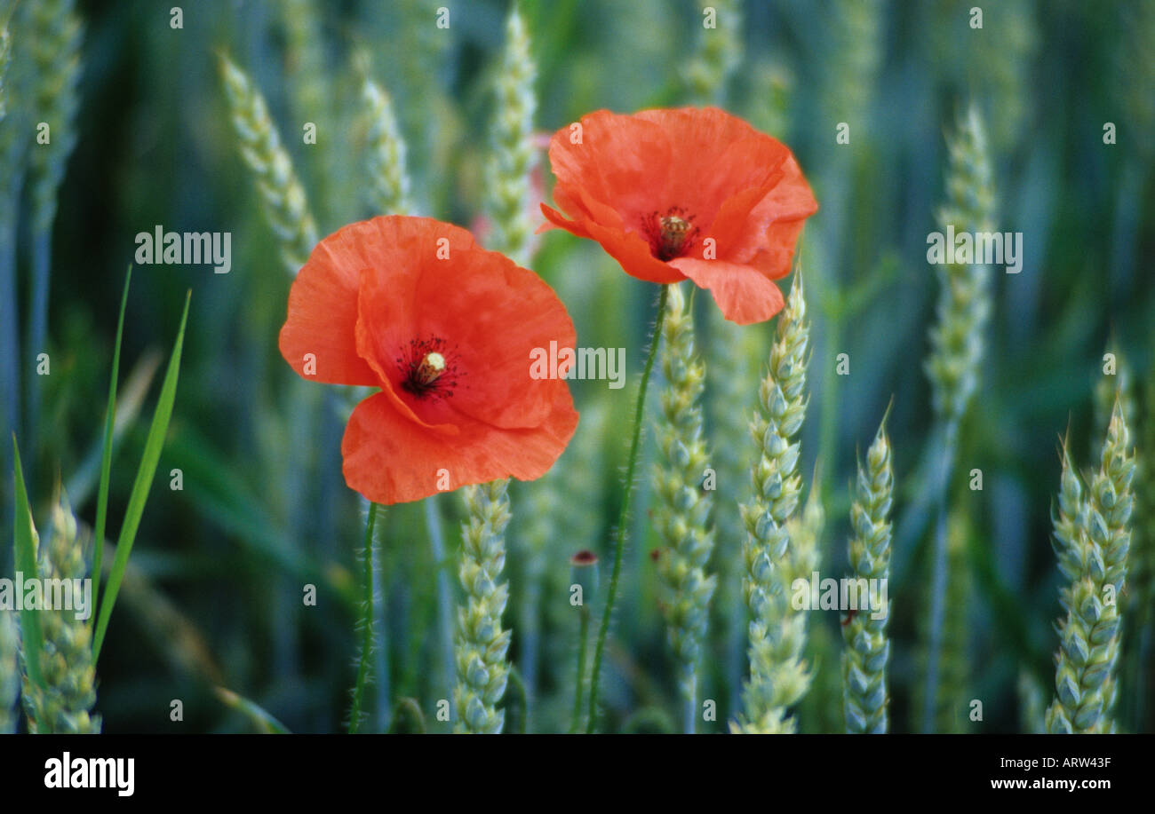 Papaver Rhoes Common Poppy Red Flowers Growing In Field Stock Photo