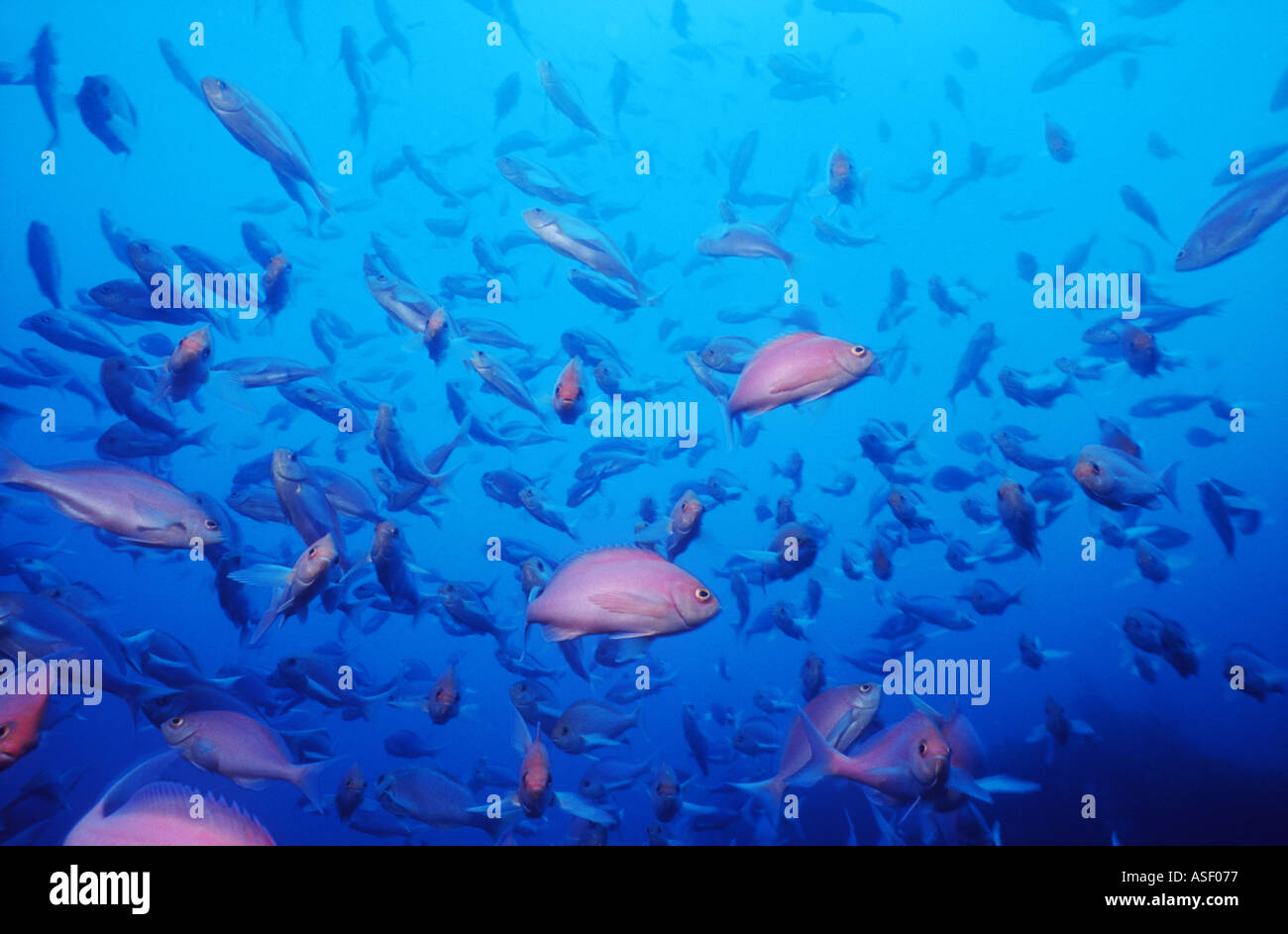 School Pink Maomao fish Caprodon longimanus Family Serranidae the grouper family Mayor Island New Zealand Depth - Stock Image