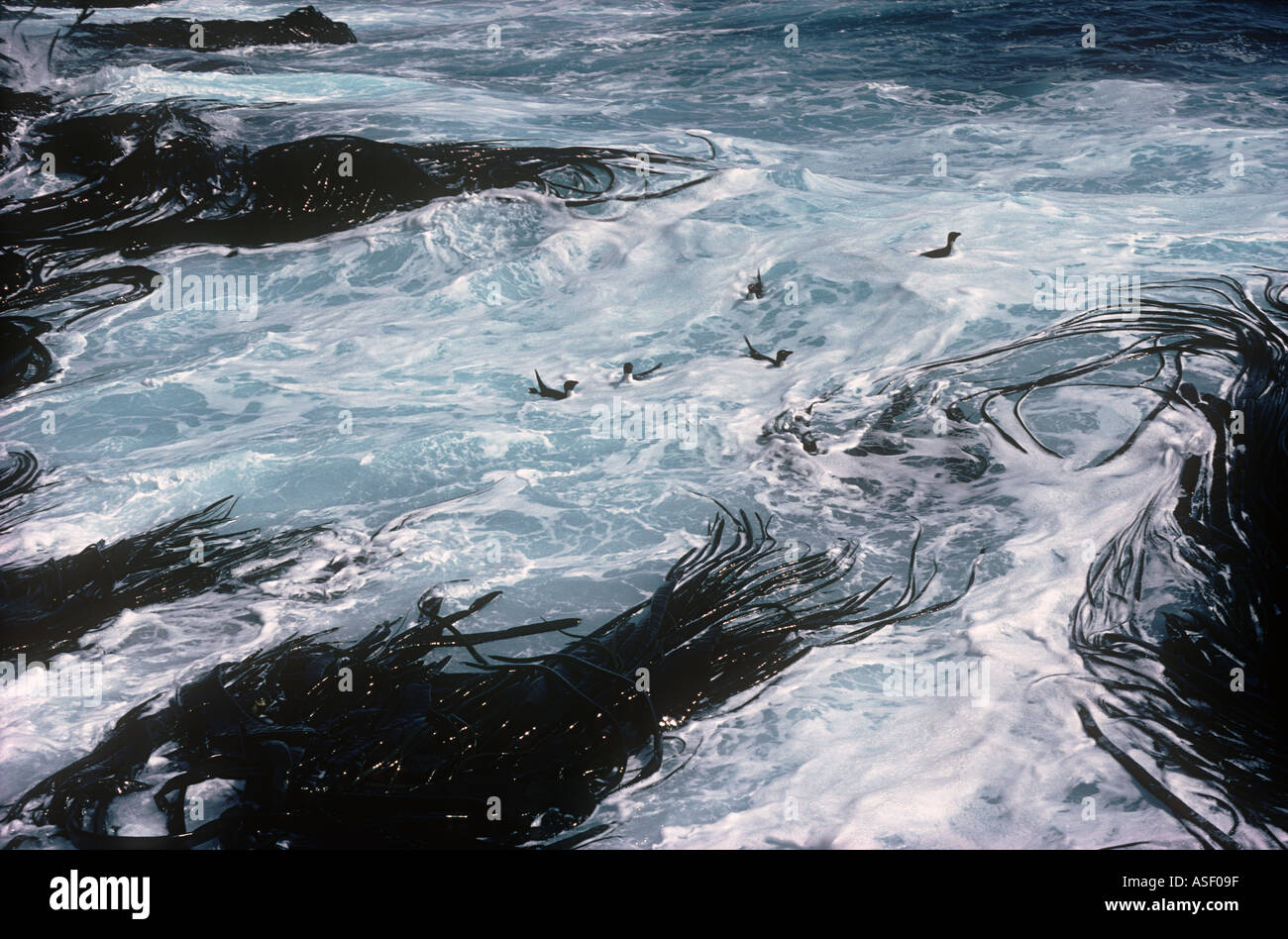 Rockhopper penguins Eudyptes chrysocome Swimming in surf zone near bull kelp Relaxed Campell Island New Zealand - Stock Image
