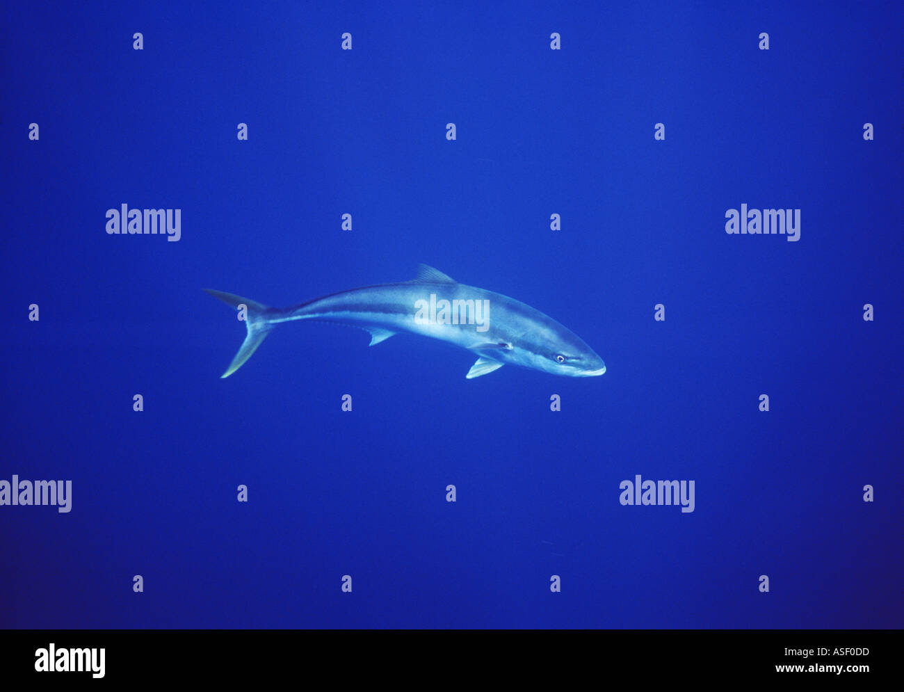 Kingfish Yellowtail Seriola lalandi Seriola lalandei Single large fish in open water Kermadec Islands New Zealand - Stock Image