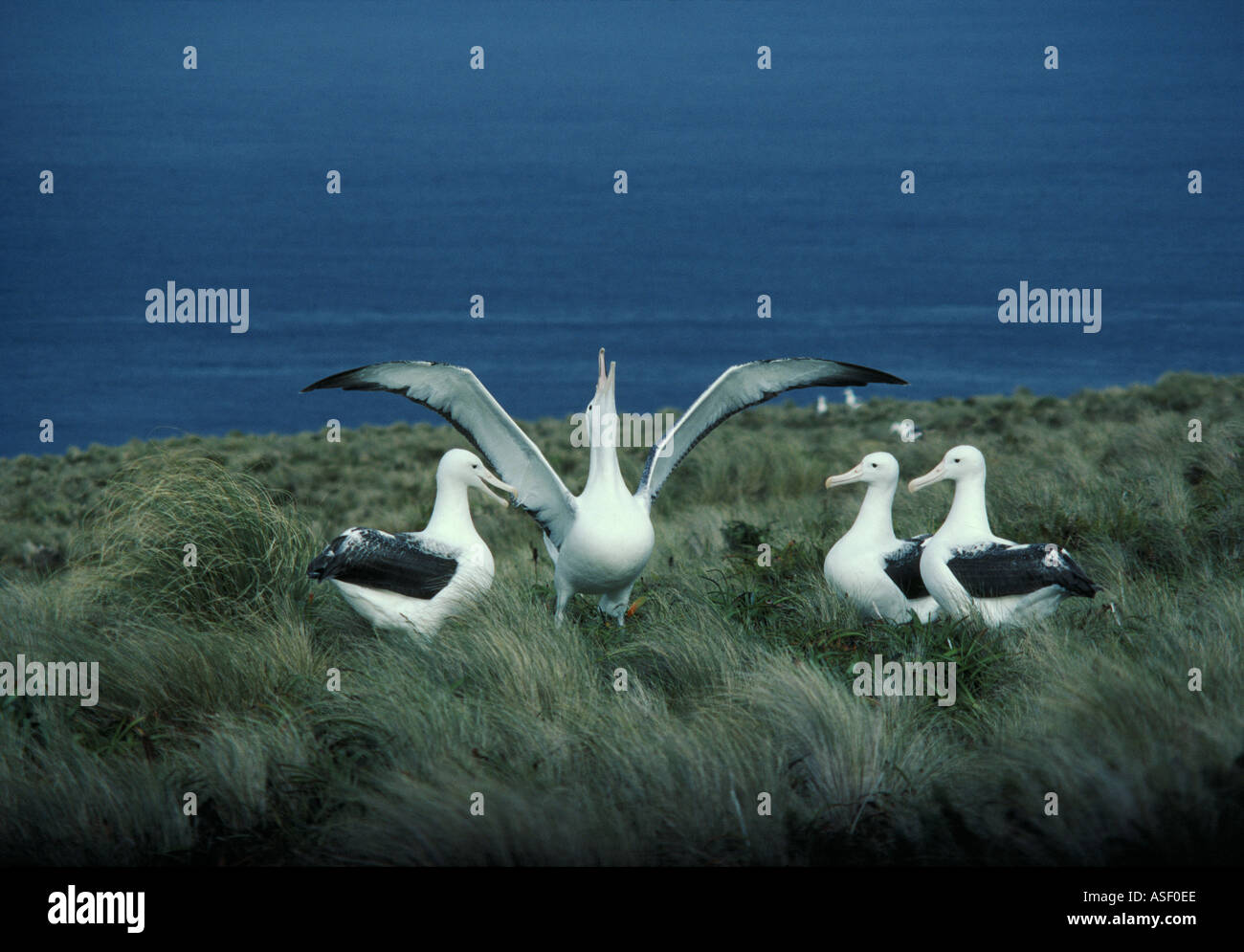 Southern Royal Albatross Diomedea epomophora epomophora group courting or gamming Campbell Island New Zealand - Stock Image