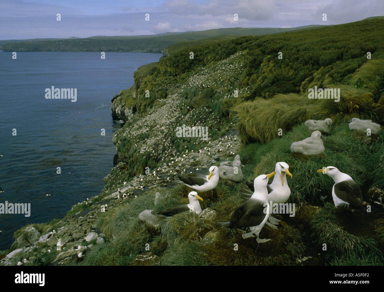 Campbell black browed albatross Campbell albatross Colony near North Cape subantarctic Campbell Island New Zealand - Stock Image