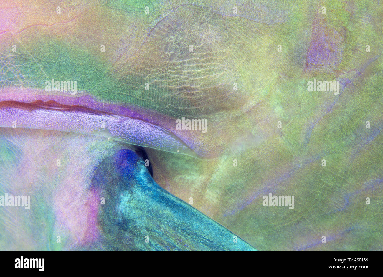 Close up detail of skin and fin of wrasse parrotfish underwater Night Tonga - Stock Image