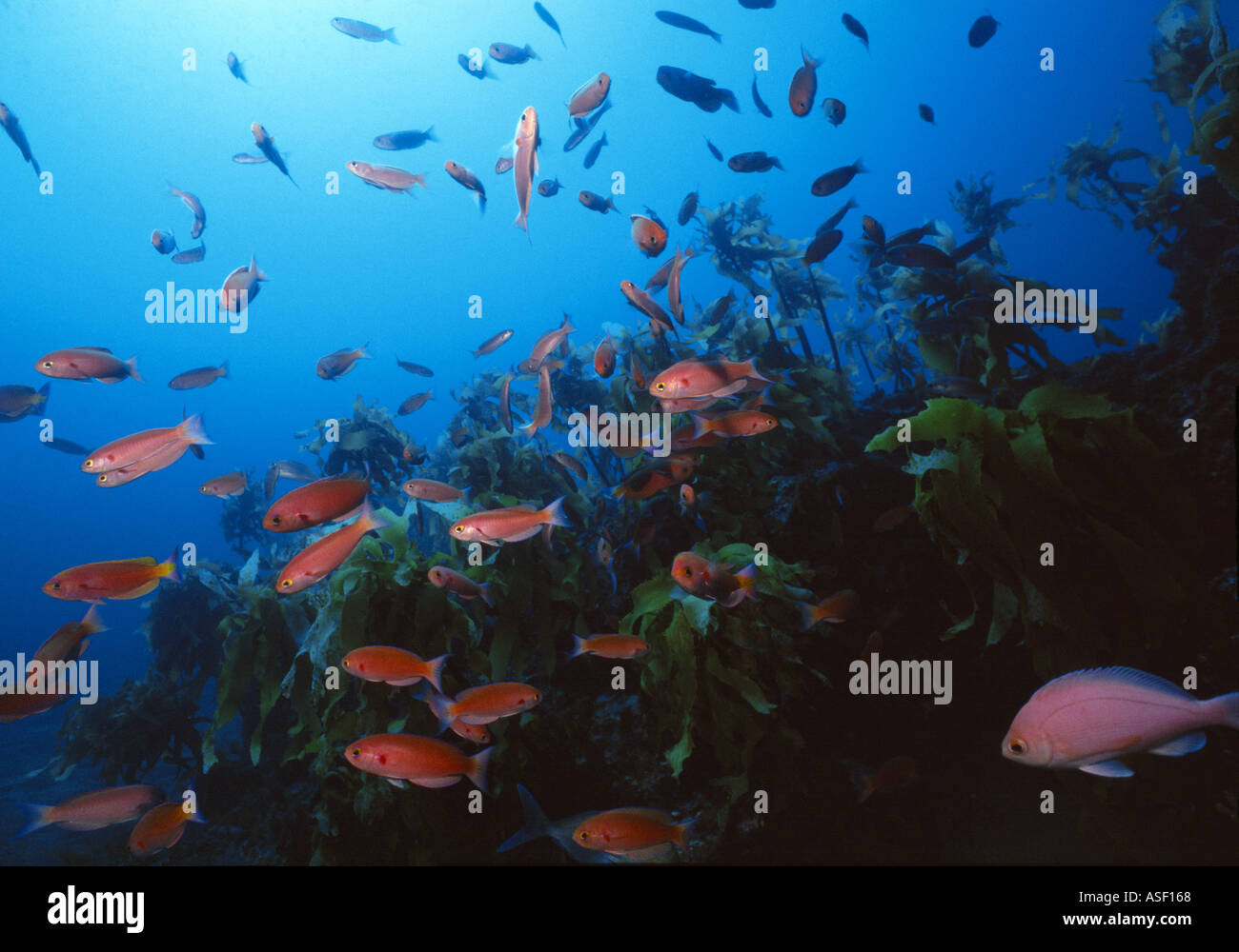 School of Splendid Perch swim over kelp forest on rocky reef Mayor Island New Zealand Depth 27 metres  - Stock Image