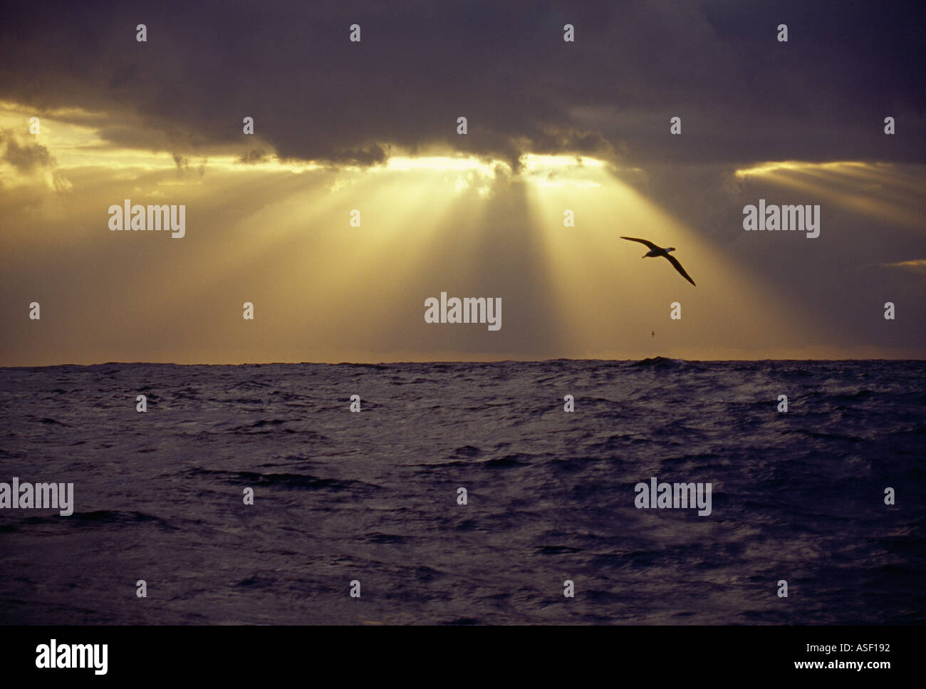 Albatross soaring over open ocean Southern Ocean Sunbeams sunrays crepuscular rays Godbeams Ropes of Maui - Stock Image