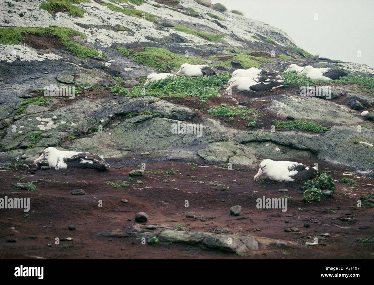 Northern royal albatrosses Storm blowing them off nests Middle Sister Island Chatham Islands New Zealand Mud spattered - Stock Image