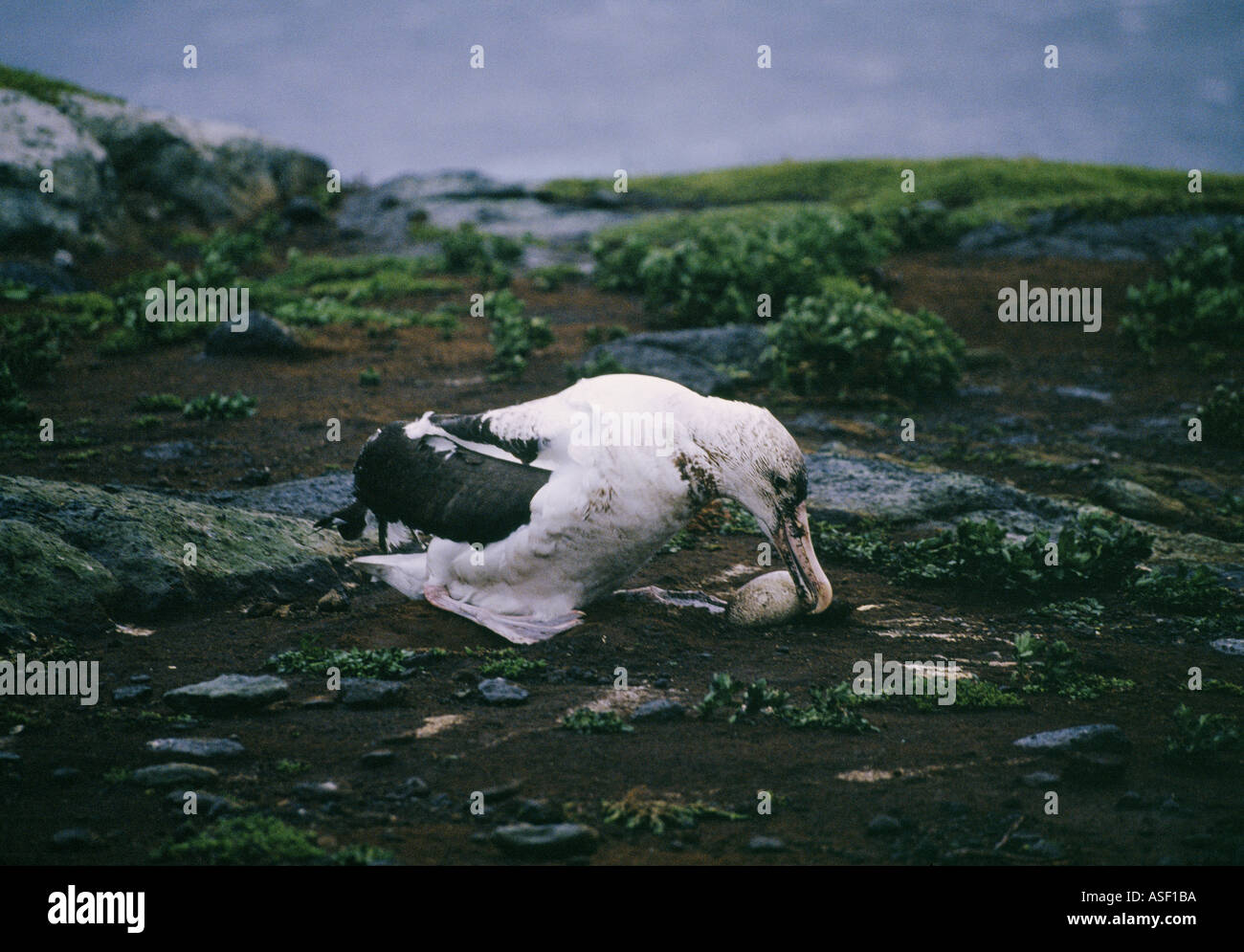 Northern royal albatrosses tries to roll egg back into nest after both bird and egg blown off nest by violent wind - Stock Image