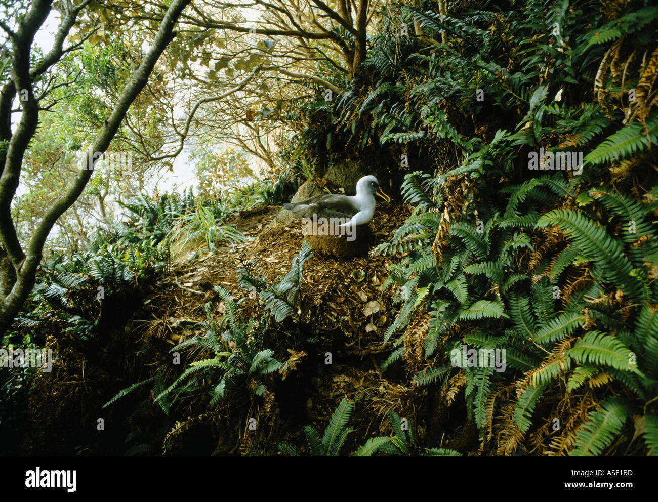 Southern Buller s albatross Buller s mollymawk nesting among forest like shrubs and ferns Solander Island New Zealand - Stock Image