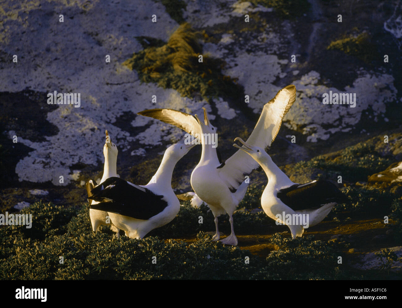 Northern Royal Albatross Group courting or gamming Displaying Evening Middle Sister Island Chatham Islands New Zealand - Stock Image
